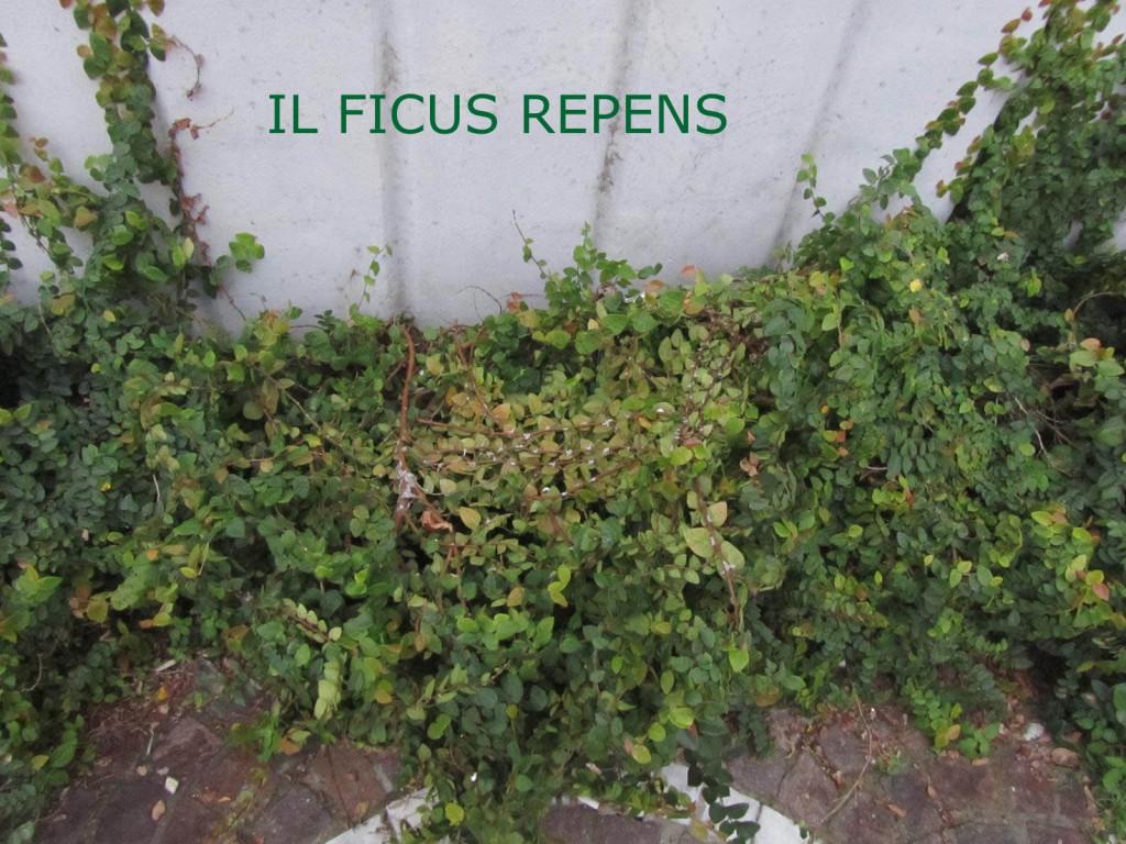 7-IL-FICUS-1